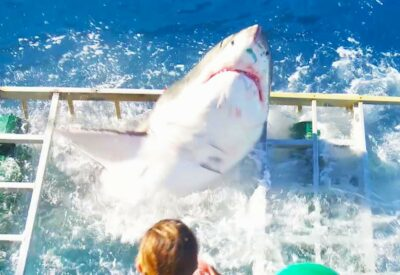 Watch: Terrifying Moment When A GREAT WHITE SHARK Breaks Into A Divers Cage