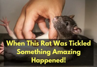 When This Rat Was Tickled, Something Amazing Happened! [Video]